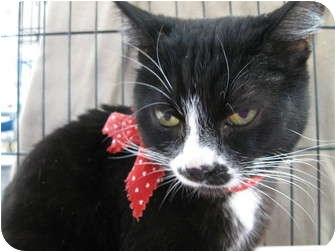 Domestic Shorthair Cat for adoption in Brea, California - Mia