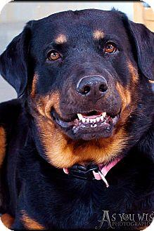Rottweiler Dog for adoption in Gilbert, Arizona - Harley