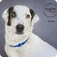 Adopt A Pet :: Rider - Phoenix, AZ