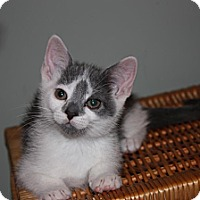 Adopt A Pet :: Blue (LE) - Little Falls, NJ