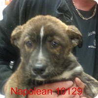 Adopt A Pet :: Napolean - baltimore, MD