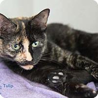 Adopt A Pet :: Tulip - Merrifield, VA
