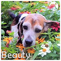 Adopt A Pet :: Beauty - Novi, MI