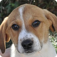 Adopt A Pet :: Royce - Atlanta, GA