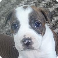 Adopt A Pet :: Roxie - Cincinnati, OH