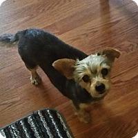 Yorkie, Yorkshire Terrier Dog for adoption in Salem, New Hampshire - Travis