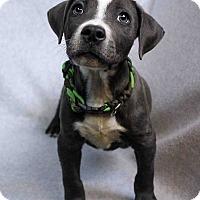 Adopt A Pet :: Armando - Westminster, CO