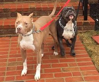 American Pit Bull Terrier Dog for adoption in Baltimore, Maryland - Ocean and Blue