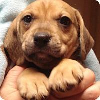 Adopt A Pet :: CHUCKY CHEESE - Dallas, TX