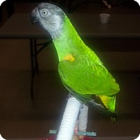 Poicephalus (including Senegal and Meyer's) for adoption in St. Louis, Missouri - Poncho