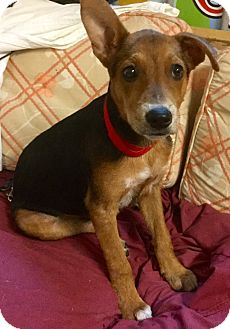 Black and Tan Coonhound/Clumber Spaniel Mix Puppy for adoption in Phoenix, Arizona - Virgil