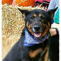 Adopt A Pet :: Rocky - Bedford, NY
