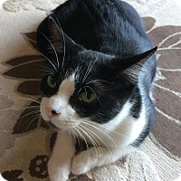 Domestic Shorthair Cat for adoption in Rochester Hills, Michigan - Christine