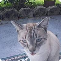 Siamese Cat for adoption in Ocala, Florida - GoHome