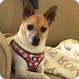 Rat Terrier Dog for adoption in Atlanta, Georgia - Luci (GA)