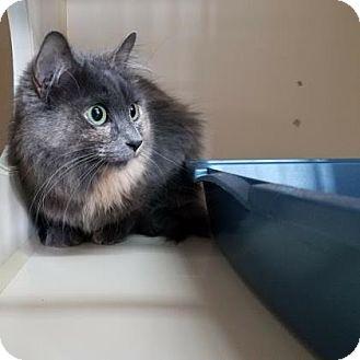 Domestic Longhair Cat for adoption in Fort Collins, Colorado - Primrose