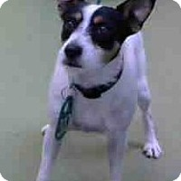 Jack Russell Terrier Dog for adoption in Seattle, Washington - Fletcher Bell