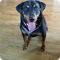 Adopt A Pet :: Shelby - Only $55 adoption!!! - Litchfield Park, AZ