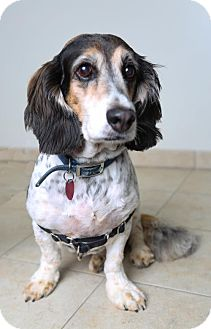 Basset Hound/Cocker Spaniel Mix Dog for adoption in Edina, Minnesota - Murphy D161902: PENDING ADOPTION
