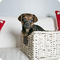 Adopt A Pet :: Zoe - Inglewood, CA