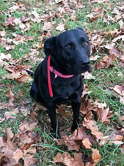 Labrador Retriever/Terrier (Unknown Type, Medium) Mix Dog for adoption in mt sterling, Missouri - Riley