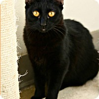 Domestic Shorthair Cat for adoption in Richland Hills, Texas - Cherry