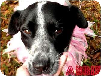 Australian Shepherd/Catahoula Leopard Dog Mix Dog for adoption in Orlando, Florida - Abbie