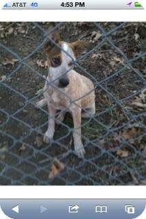 Australian Cattle Dog Mix Puppy for adoption in Conway, Arkansas - Bonnie