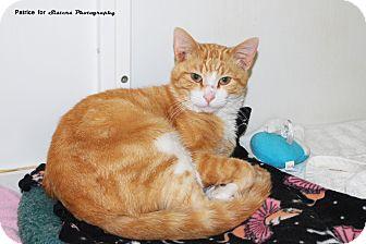Domestic Shorthair Cat for adoption in Lincoln, Nebraska - Sonny