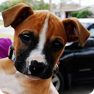 Boxer Mix Puppy for adoption in Orlando, Florida - WIlma