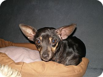 Chihuahua/Rat Terrier Mix Dog for adoption in Apex, North Carolina - Idgee