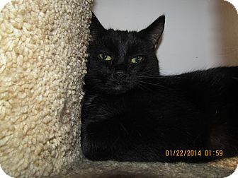 Domestic Shorthair Cat for adoption in Corinth, New York - Winter