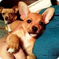 Adopt A Pet :: Roo-Nine Wk Old Puppy! - Kirkland, WA