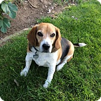 Adopt A Pet :: Beagie Bruno - Apple Valley, CA