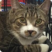 Adopt A Pet :: Brawny - Harrisburg, NC