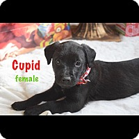 Adopt A Pet :: 7 week old lab mix pups - Albemarle, NC