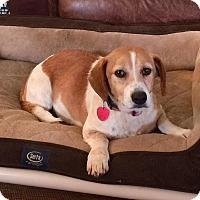 Adopt A Pet :: Donna - Norman, OK