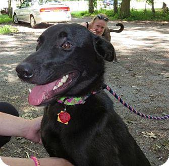Labrador Retriever/German Shepherd Dog Mix Dog for adoption in Rockaway, New Jersey - Van HEART-Tripod