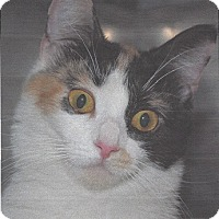 Calico Cat for adoption in Lafayette, New Jersey - Anneka