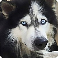 Adopt A Pet :: Hamlet - Clearwater, FL