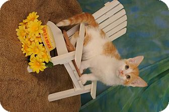 Domestic Shorthair Kitten for adoption in mishawaka, Indiana - Jasmine