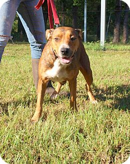 Pit Bull Terrier Mix Dog for adoption in Oakdale, Louisiana - Annie