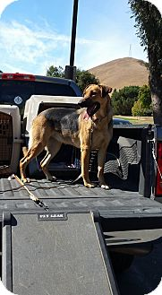 Shepherd (Unknown Type)/Hound (Unknown Type) Mix Dog for adoption in Gustine, California - DAISY