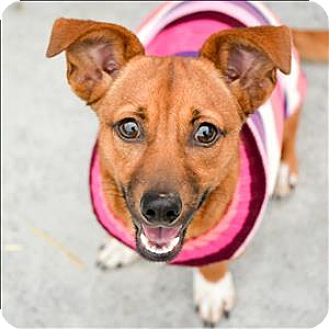 Dachshund Mix Dog for adoption in Vallejo, California - Pixie