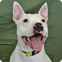 Bull Terrier/Pit Bull Terrier Mix Dog for adoption in Conroe, Texas - Kilo