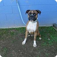 Adopt A Pet :: Bruno - Randleman, NC