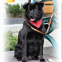 Collie/Labrador Retriever Mix Dog for adoption in San Mateo, California - Blossom