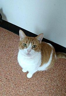 Domestic Shorthair Cat for adoption in Fremont, Ohio - KiKi