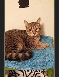Domestic Shorthair Kitten for adoption in Huntington, Indiana - Cheerios