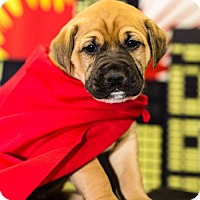 Adopt A Pet :: Ironman - West Orange, NJ